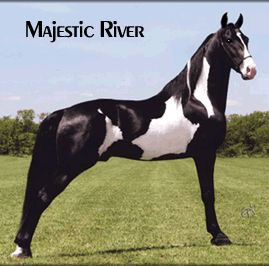 MAJESTIC RIVER a very flashy black and white Tennessee Walking Horse stallion, , by World Champion, Powder River, and out of a daughter of The Gold Rush Is On.