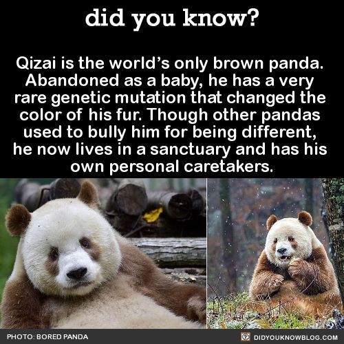 Qizai is the world's only brown panda. Abandoned as a baby, he has a very rare genetic mutation that changed the color of his fur. Though other pandas used to bully him for being different, he now lives in a sanctuary and has his own personal...
