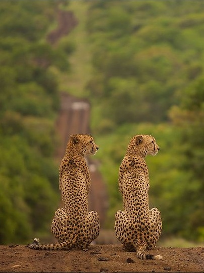 A pair of Cheetah looking for prey at Thanda private game reserve, Africa. By Etienne Oosthuizen.