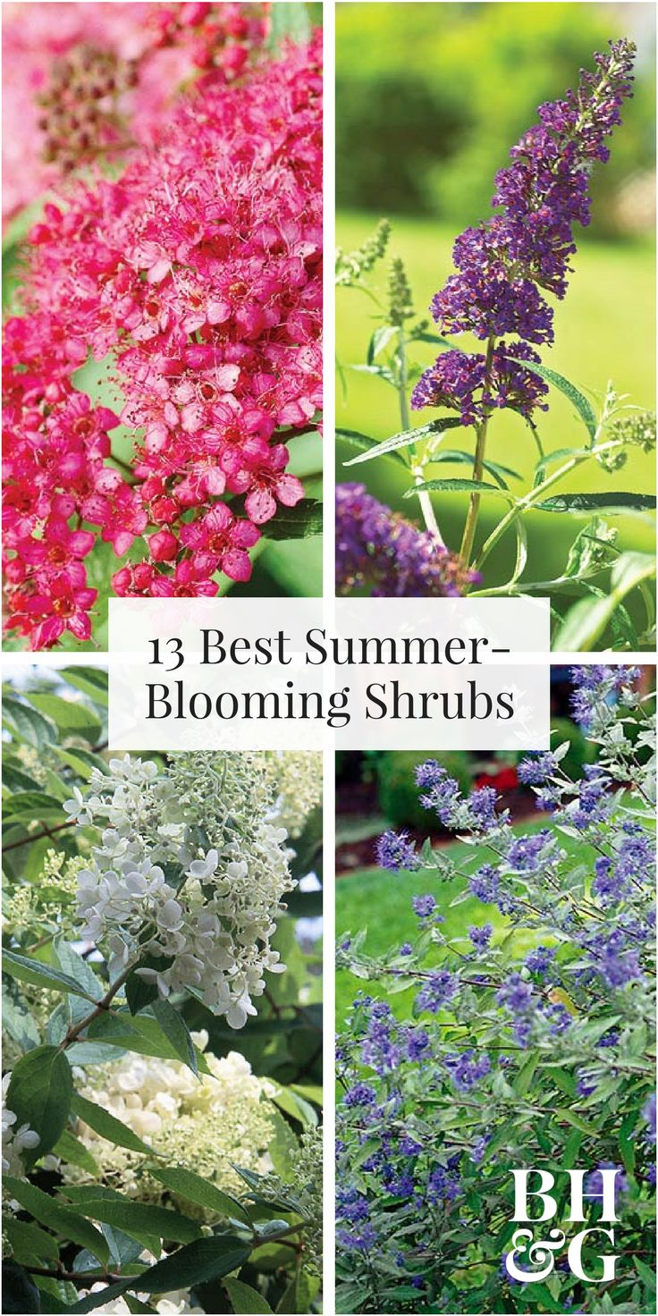 Here are 13 of the best summer blooming shrubs that will keep your flower garden looking beautiful all season. Try growing some of our favorites, such as bluebeard shrub, butterfly bush, oleander, shrub rose, and more. #shrubs #gardening #landscapeideas