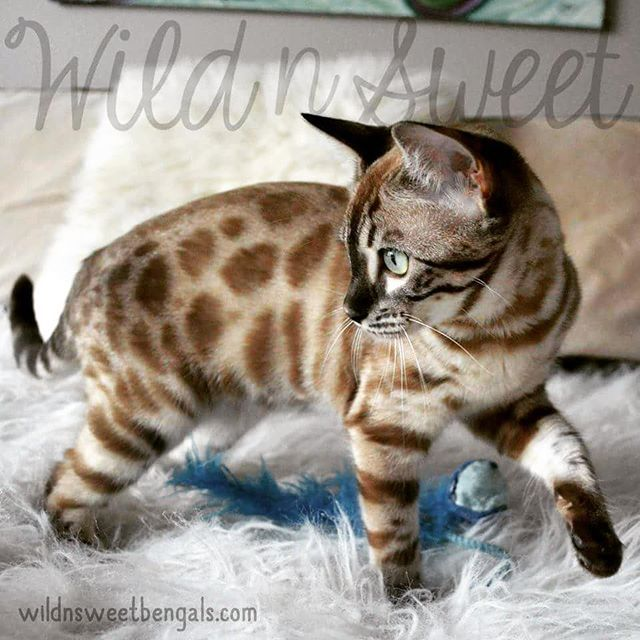A very nice snow mink charcoal bengal girl!! Just sooo lovely! She's one of our queen at Wild N Sweet Bengals Cattery :)