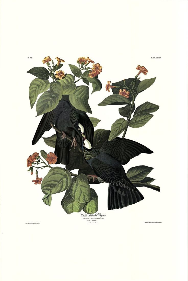 Princeton Audubon White-headed Pigeon