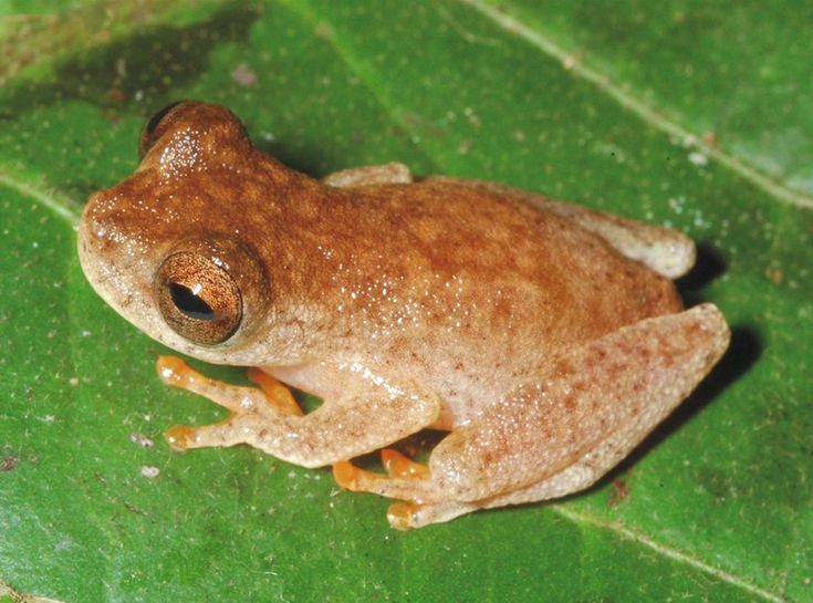"""New """"Bat Frog"""" Found in Amazon, Named for Ozzy Osbourne.  Dendropsophus ozzyi, seen here in its Amazon habitat, has an unusually high-pitched, chirpy call.  PHOTOGRAPH BY PEDRO PELOSO"""