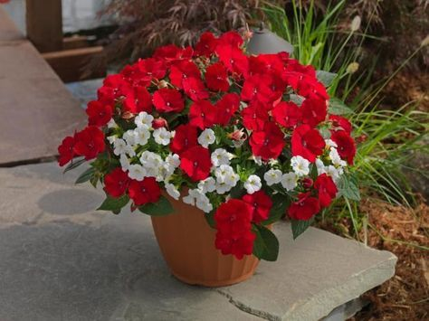 Color your summer scenes with candy cane shades of red and white. This combination features red sun-tolerant impatiens (sold as SunPatiens) accented with white million bells (calibrachoa). It's a sun-loving duet that looks good as temperatures soar. Tuck in a blue scaevola for a patriotic pot. Recipe for 10-inch pot (1 each in 4-inch pots): Red SunPatiens and white Calipetite calibrachoa.