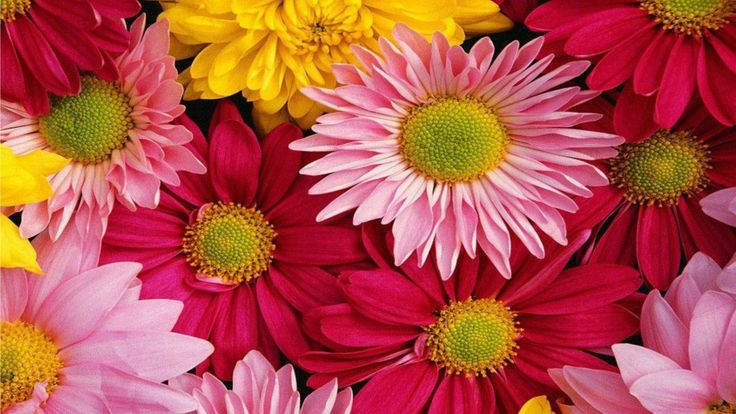 Pink Gerbera Daisy Wallpaper Pink Gerbera Flower Wallpaper
