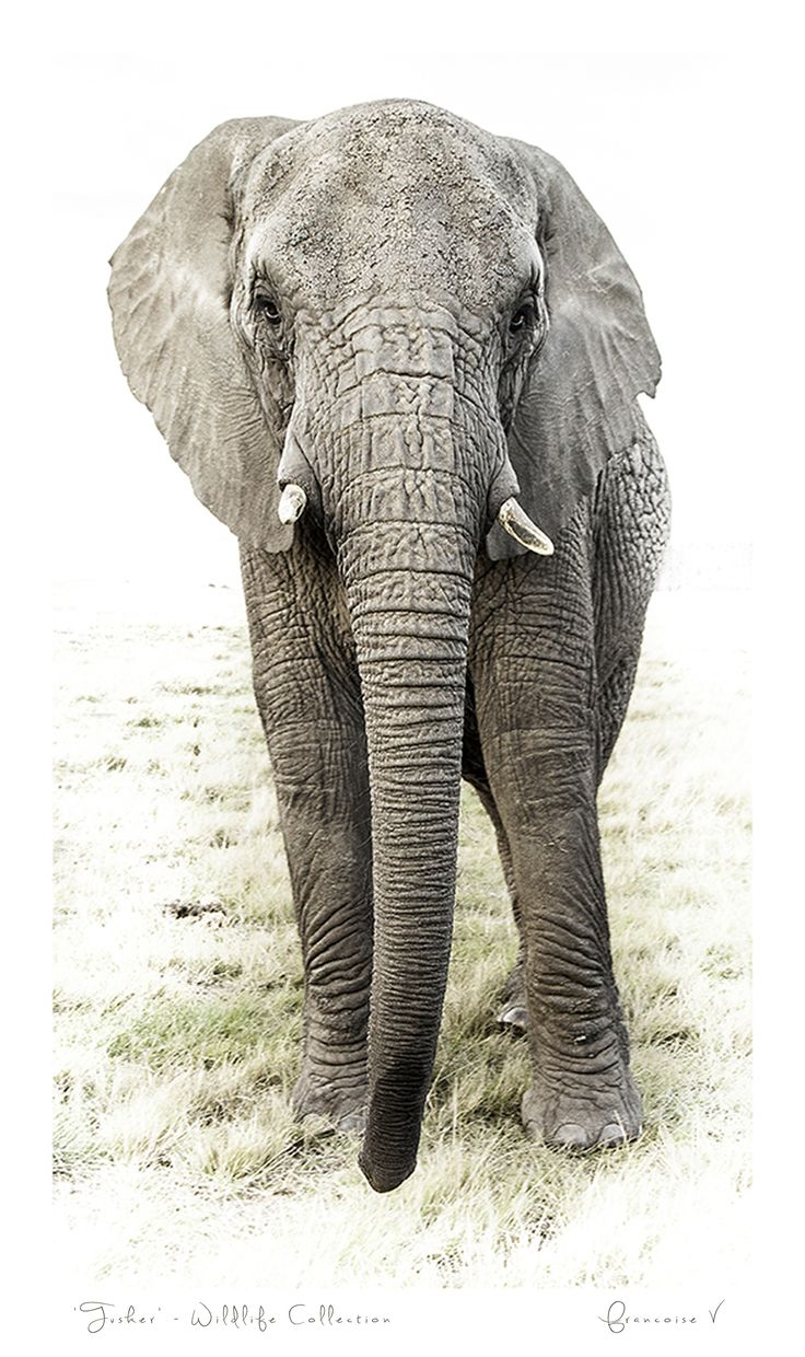 """""""Tusker"""" {Wildlife Collection} by Francoise V"""