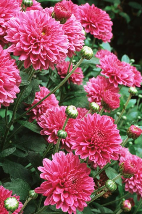 "Chrysanthemums  --   Fall's most popular flower symbolizes optimism, joy and longevity. Well, except for the yellow variety that's associated with ""slighted love."""