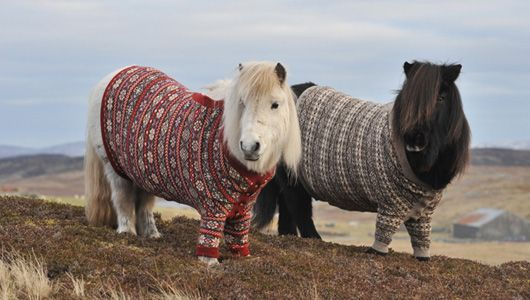 Shetland pony ambassadors sport handmade wool sweaters to promote tourism in Scotland.