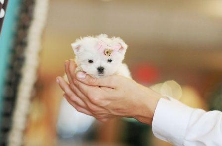 Puppies In California! www.teacuppuppiesstore.com 954-353-7864