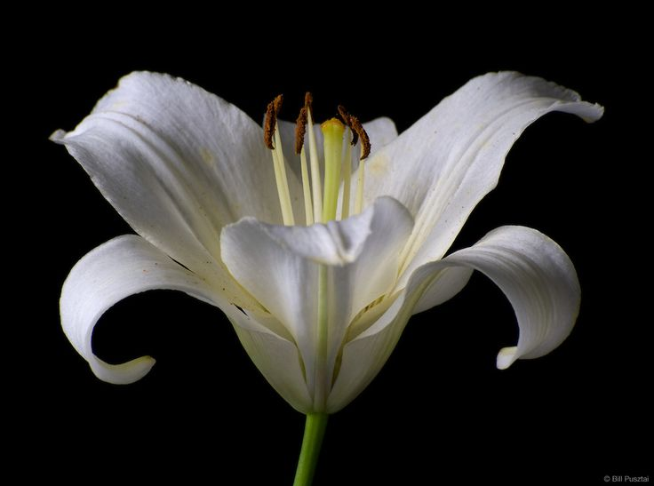"Лили, Lilium х ""Звездочет"" Белый."