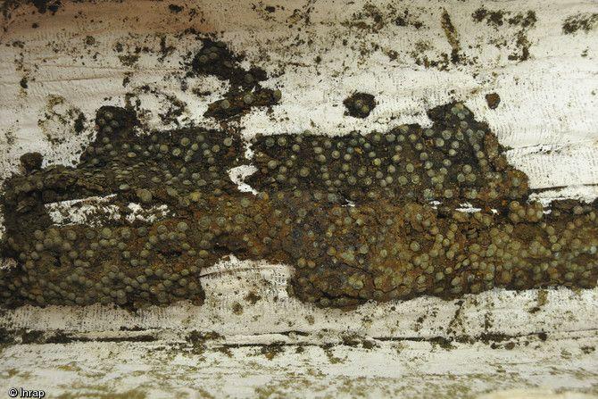 Décor de clous en bronze sur une planche de cercueil mise au jour dans la nef de l'église, couvent des Jacobins, Rennes (Ille-et-Vilaine), 2013, époque moderne...