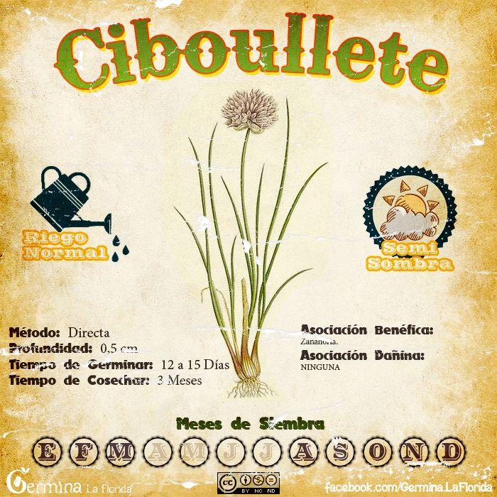 Ciboullete.jpg (700×700)