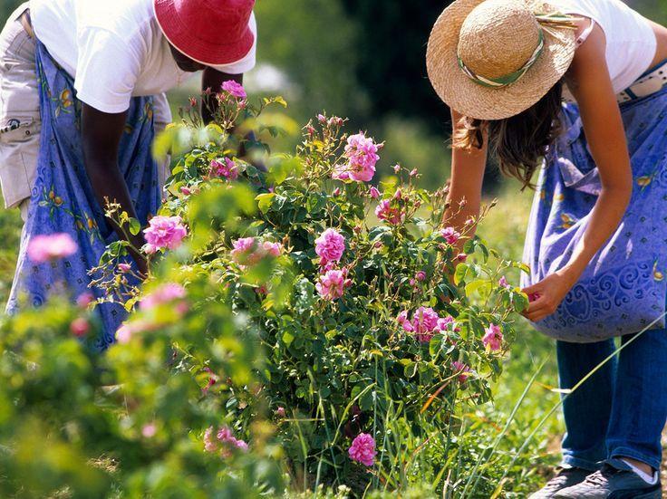 Récolte des roses centifolia au domaine Manon à Grasse