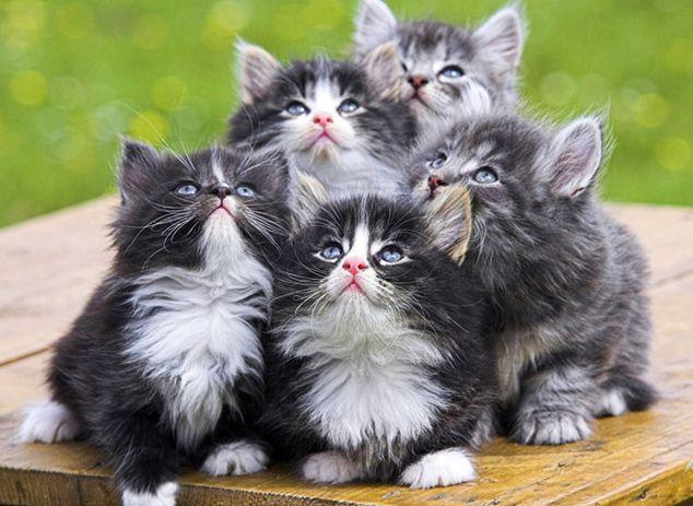 norwegian forest kittens.