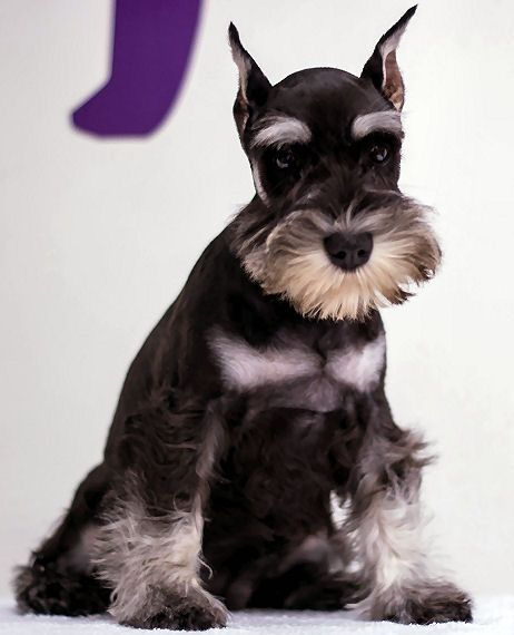 17 Best Images About Mini Schnauzers On Pinterest Puppy