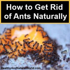 How To Get Rid Of Ants Naturally Vinegar
