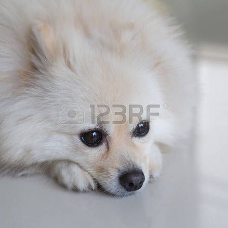 white pomeranian puppy dog cute pets http://ift.tt/2gO4qb1