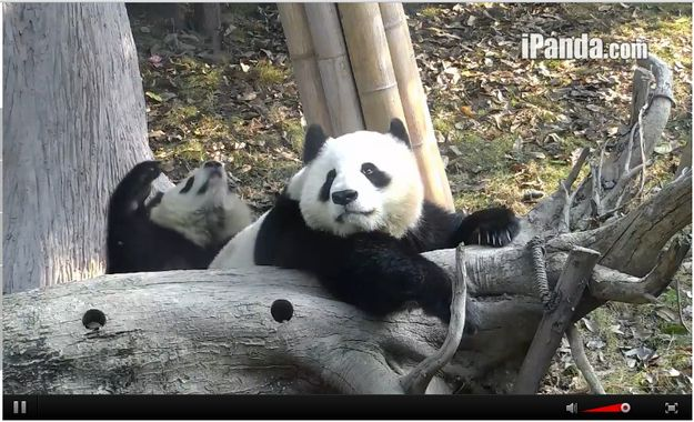 When this cub was contemplating life and stuff on a tree branch.   Community Post: 9 Moments When The Pandas On Chengdu's Panda Cam Were Too Cute To Handle