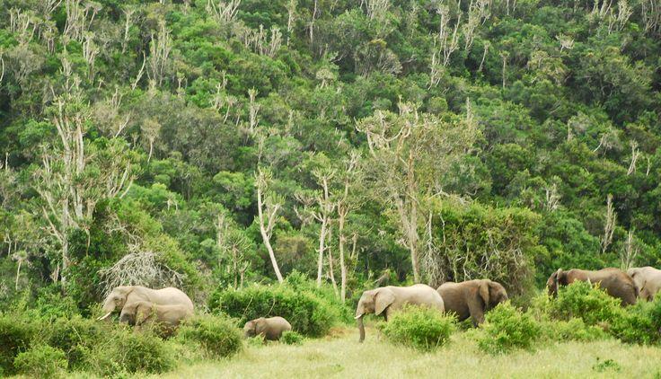 Elephant family seen in the natural bush at Sibuya Game Reserve, Eastern Cape, South Africa www.sibuya.co.za