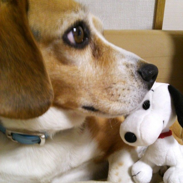 Cool Snoopy Beagle Beagle Adorable Dog - 9fdd85196563f66a9d3af2107da7a332--snoopy-cutest-puppy  Pic_23196  .jpg