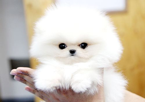 fat pomeranian a big cotton ball cute dogs puppies pinterest 9450