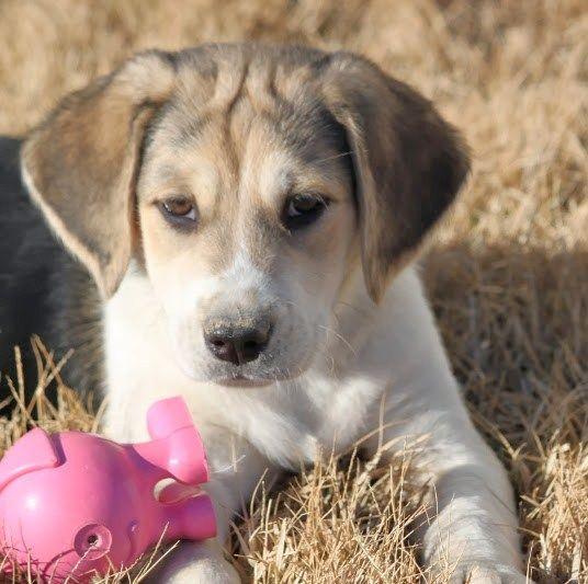 Beagle Mix Beagles And Labradors On Pinterest