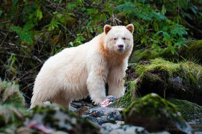 A Kermode Bear (or sometimes called Spirit Bear).  They can only be found in a small area in Northwest BC.