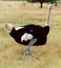 pštros dvouprstý - největší žijící pták světa