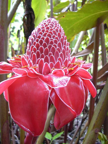 Etlingera elatior aka Torch Ginger, or Philippine Waxflower.  A perennial growing up to 20 feet tall.  It produces a 5 foot long, torch-like flower stalk.  The unopened flower buds are edible and very flavorful, and are used in Southeast Asian cooking.