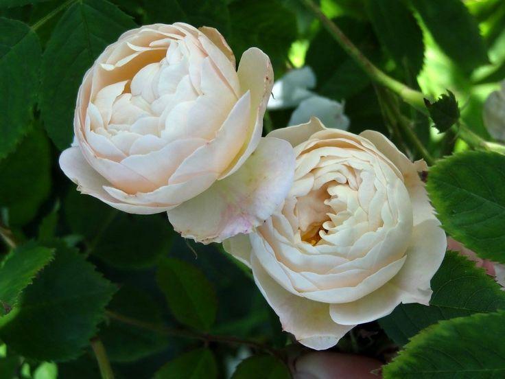 17 best images about shrub roses on pinterest edinburgh. Black Bedroom Furniture Sets. Home Design Ideas