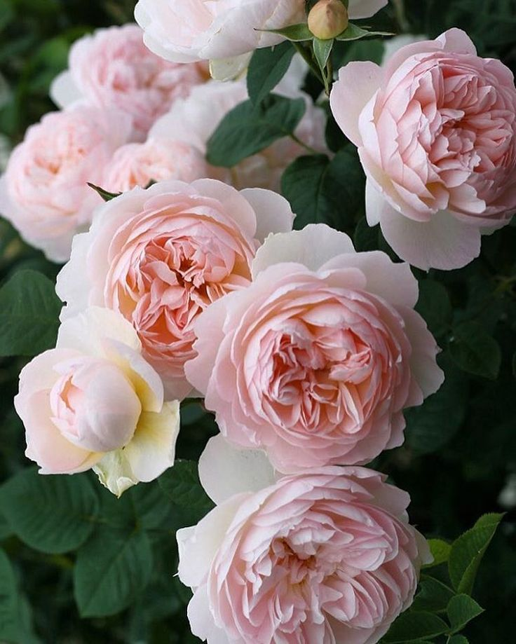 GENTLE HERMOINE, David Austin. This variety I think has a wonderful shape, classic strong old rose scent and is rain resistant as well as repeat flowering.