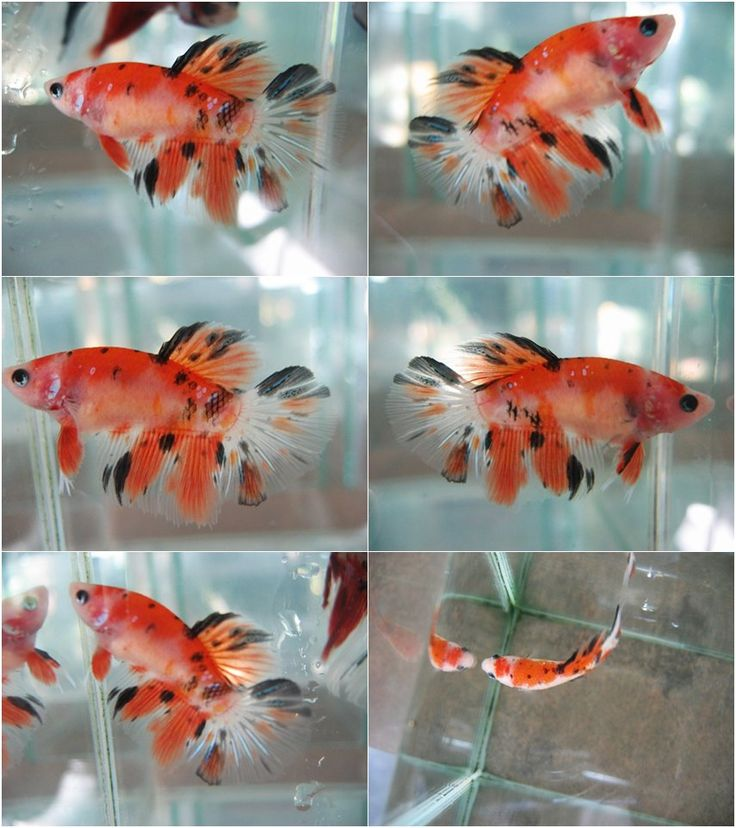 Bubblybettas female koi betta by tapong bettas for Black koi fish for sale
