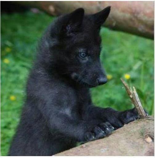 9fdf39448f47e846ec6cd342617b6ebb--baby-wolves-wolf-pup.jpg