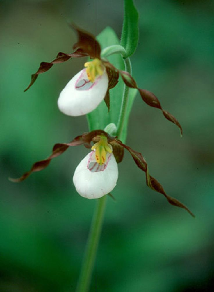 Showy Lady's Slipper Orchid by Bill and Joyce Demeester