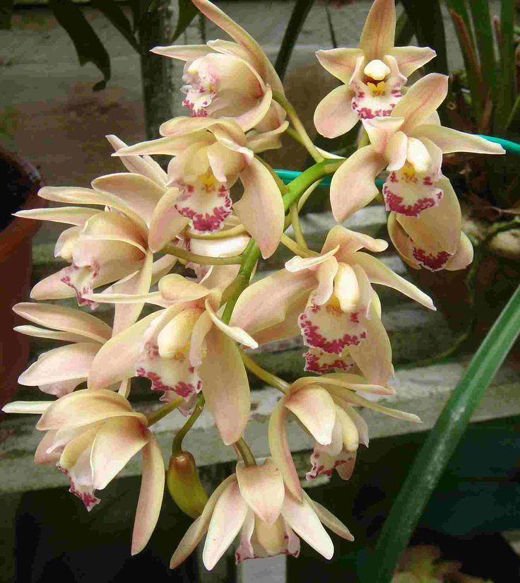 orchid flower | Tropical Flowers
