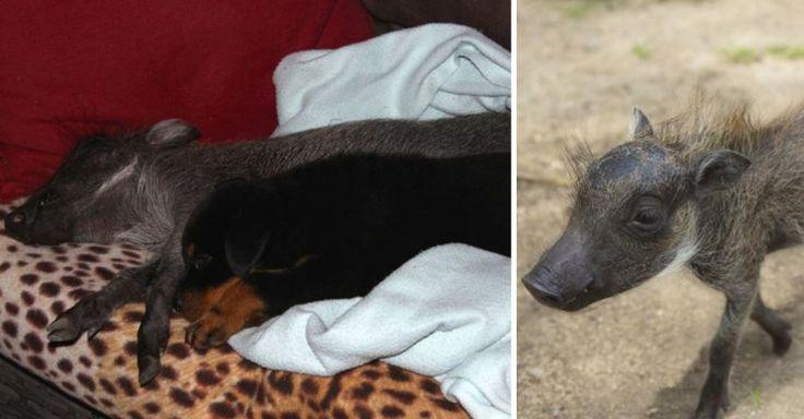 Diese beiden putzigen Bewohner der Daktari Bush School and Wildlife Orphanage, einer Tierrettungseinrichtung in Südafrika, könnten unterschiedlicher nicht sein. Dennoch sind Piggy, ein kleines Warzenschwein und Nikita, ein Rottweiler Welpe, beste Freunde.