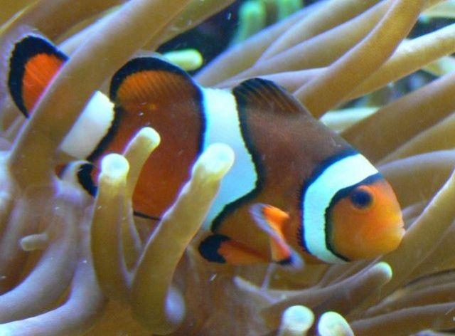 Pesci marini tropicali consigliati per Nano-Reef