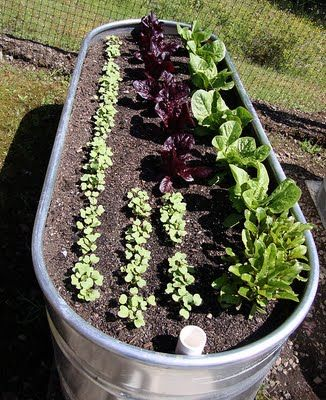 Galvanized water troughs make great planters for vegetables. Have to try this.