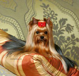 Yorkshire terrier Like my little Mollie but with long hair.