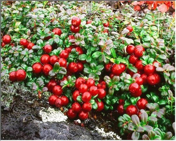 Брусника с давних времен славится целебными свойствами. Растение произрастает в северных широтах и славится своим полезным действием уже не первый век. Брусника является для человека не только вкусным лакомством, но и прекрасным целебным продуктом. О ягоде даже слагали легенды и считали «ягодой бессмертия»