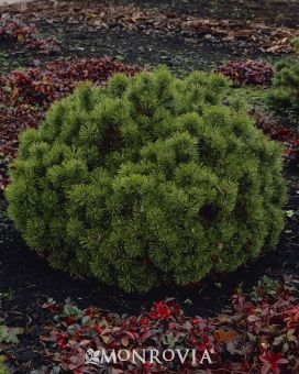 Mops Mugo Pine, Pinus mugo 'Mops'