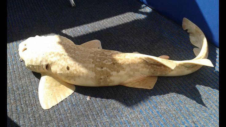 Fishing Perth WA Albino or Blonde Wobbegong Shark