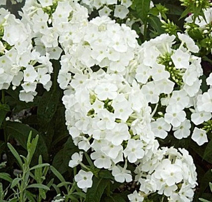 Phlox paniculata Peacock White - A nice cooling white for early season June/July
