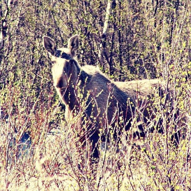 """@benedickte's photo: """"Met this fellow yesterday; happiest moose in Norway. #acrossnorway14 www.acrossnorway.com"""""""