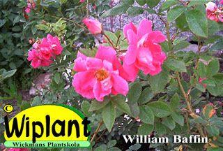 William Baffin är den högsta kanadensiska klängrosen hos oss med en höjd om ca 2-2,5 m. Blommorna är enkla till halvdubbla med en diameter om 6-7 cm och ca 20 kronblad. Härdig till USDA zon 2a (-40C) och hos oss har den klarat sig bra.