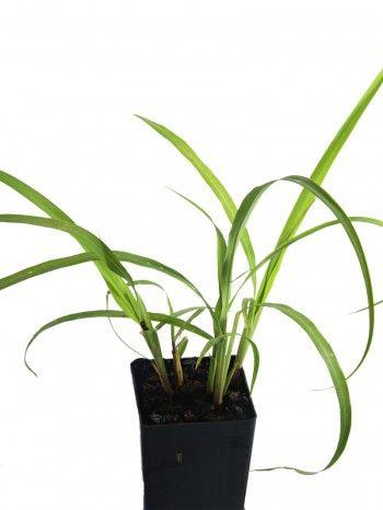 Organic Lemon Grass | Cymbopogon citratus plant - herbcottage