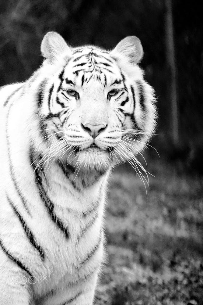 1000 Ideas About Black Tigers On Pinterest Tiger Cubs