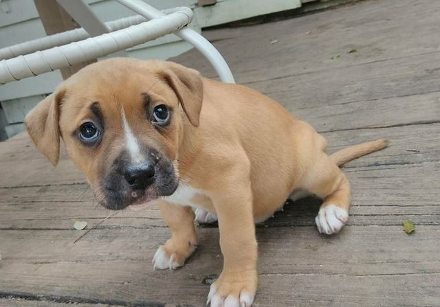 Boxer Dog For Adoption In Sanford Fl Adn 742607 On Puppyfinder Com Gender Female Age Baby Boxer Dogs Dog Adoption Dogs