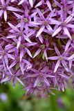 Muitas flores roxas pequenas Fotos de Stock