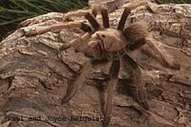 Arizona Blonde Tarantula Fact Sheet